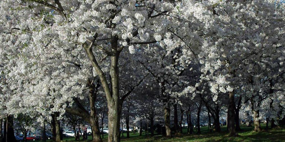 Kirschbaum mit Blüten, Blog von Cradle to Cradle NGO